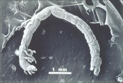 chironomid-larvae